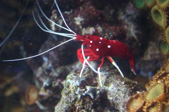 Malý červený fúzačik