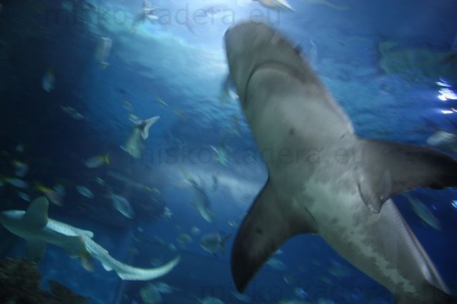 Žralok zo spodu
