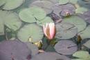 Lekno - v jazierku, ktoré obkolesovalo zakliaty zámoček