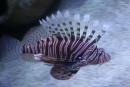 Ryba  pankáčka :)