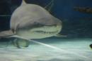Žralok útočí.. - ...ale nie, pokojne si plával sem a tam, nenechal sa rušiť ničím